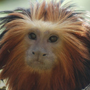 tamarin lion à tête dorée