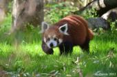 panda roux 1