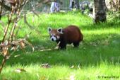 panda roux 3