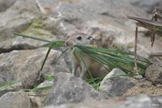 rat des sables ou rat obèse