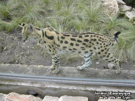 http://www.zoo.lyon.fr/static/zoo/contenu/images/photos/serval01-b.jpg