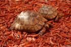 la tortue grecque