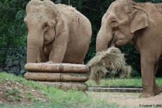 l'éléphant d'Asie