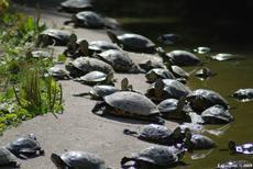 les tortues américaines