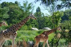 les girafes du zoo de Lyon