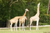 girafes 2