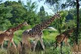 girafes 3