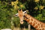 girafes 5