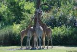 girafes 8