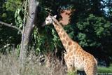 girafes 9