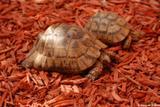 tortue grecque 1