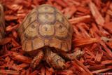 tortue grecque 2