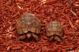 tortue grecque 3