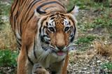 tigre du bengale 1