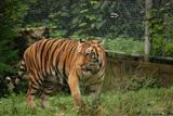 tigre du bengale 2