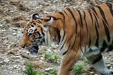 tigre du bengale 3