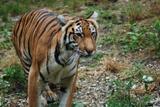 tigre du bengale 4