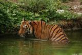 tigre du bengale 5