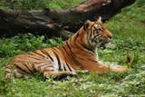 tigre du bengale 7