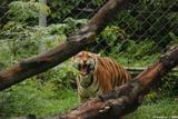 tigre du bengale 8