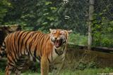 tigre du bengale 9