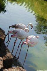 flamants roses 8