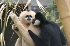 Gibbons à favoris