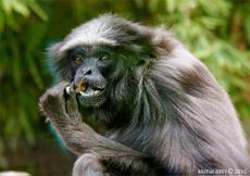 Lulu, doyenne des gibbons agiles d'Europe