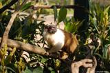 tamarin bicolore 10
