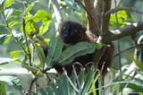Lémur à ventre roux 3