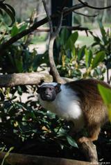 tamarin bicolore 8
