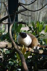 tamarin bicolore 9