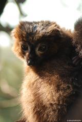 Lémur à ventre roux 4