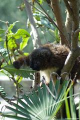 Lémur à ventre roux 5