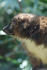 Lémur à ventre roux 7