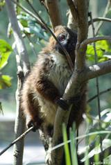Lémur à ventre roux 8