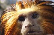 http://www.zoo.lyon.fr/static/zoo/contenu/photos%202011/.resize/180_119_tamarin_lion.jpg