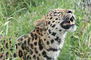 http://www.zoo.lyon.fr/static/zoo/contenu/photos%202011/.resize/180_120_panth%E8re1.jpg